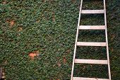pic of tree trim  - Long ladder on trimmed tree wall - JPG