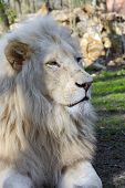 pic of african lion  - White South African male lion  - JPG