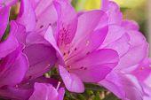 foto of azalea  - Blooming pink azaleas in sunny sun - JPG