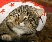 picture of tabby-cat  - Portrait of cute tabby cat posing close up view - JPG