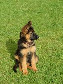 pic of german shepherd dogs  - small german shepherd puppy on green grass - JPG