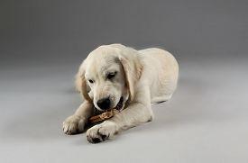 foto of labrador  - Labrador dog chewing bone on grey background - JPG