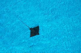 stock photo of stingray  - Stingray swimming in blue pool in Mallorca Balearic islands Spain in July - JPG