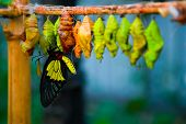 foto of cocoon  - birth of butterflies from cocoons - JPG