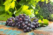 Постер, плакат: Healthy Fruits Red Wine Grapes In The Vineyard Under The Rain Dark Grapes Blue Grapeswine Grapes