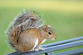 Close-up of a fluffy brown squirrel perched on a metal railing. poster