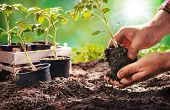 Farmer planting tomatoes seedling in organic garden. Gardening young plant into bed poster