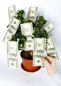 stock photo of tithe  - hands blows off dollars from the tree of money - JPG