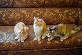 Breeding Of Purebred Cats At Home. Mainecoon Cat, Giant Maine Coon Cat. poster