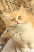 A Furry Red And White Turkish Angora Cub Cat Looking Close Up. Kitten Cat With Pedigree And Green Ey poster