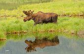 Moose Walking Next To And Reflected In A Lake In Denali National Park, Alaska, Usa. Moose And Reflec poster