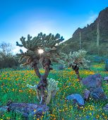 picture of ocotillo  - Early sun shines through Cholla in Picacho Peak State Park - JPG