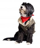 stock photo of texans  - dog dressed as a true Texan cowboy - JPG