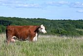 stock photo of hereford  - profile of red hereford cow - JPG