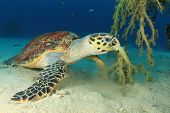 stock photo of hawksbill turtle  - Hawksbill Sea Turtle eating soft coral - JPG
