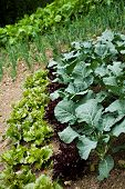 image of cruciferous  - selection of lettuce cultivars collard greens and onions growing in market garden  - JPG