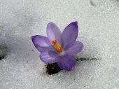 pic of gusset  - wild saffron or crocus - JPG