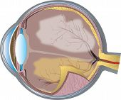 stock photo of human eye  - Illustration of the cross section of the human eye - JPG