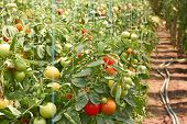 picture of naturel  - Many ripening tomatoes in soil ground greenhouse - JPG