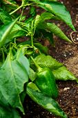 stock photo of rich soil  - Healthy green chili pepper still on the vine growing in a garden with rich soil - JPG