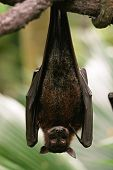 picture of bat wings  - A Bat Hanging Upside Down on Branch - JPG