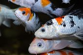foto of koi  - Colorful Koi carp fishes in an aquarium - JPG