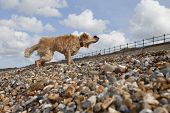 foto of herne bay beach  - Side view of mixed breed dog shaking off water on pebble beach in Herne Bay - JPG