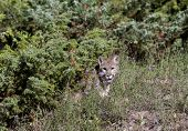 pic of cougar  - Cougar conceals itself as it watches for prey from the underbrush - JPG
