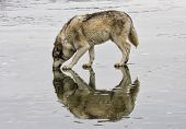 Grey Wolf Licks a Frozen Lake
