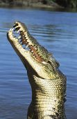 picture of crocodiles  - Australian Saltwater Crocodile in river - JPG