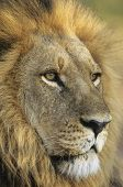 image of male-domination  - Male Lion close - JPG