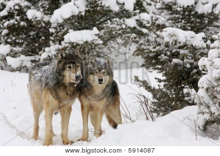 Alpha male and female