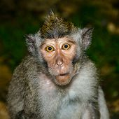 foto of gullible  - Naive monkey  - JPG