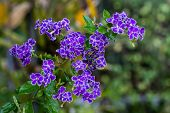 Duranta Erecta Purple Flower.