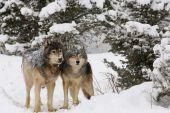Постер, плакат: Альфа мужские и женские серые волки