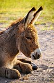 stock photo of burro  - Close up of a Baby Burro at Custer State Park South Dakota - JPG