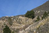 stock photo of pampas grass  - Horizontal landscape of invasive Pampas grass plant on a mountain side in the Big Sur - JPG