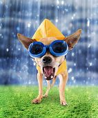 stock photo of chihuahua mix  - a tiny chihuahua with a raincoat and goggles on - JPG