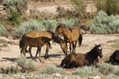 picture of open grazing area  - free roaming mustangs in the Pryor Mountain wild horse range in Wyoming - JPG
