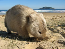 image of wombat  - An Australian wombat at Wilsons Promontory National Park - JPG