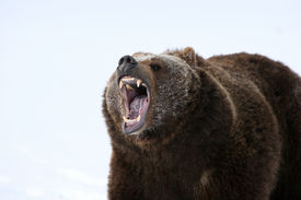 stock photo of grizzly bear  - A Grizley Bear Growling with a background of snow - JPG