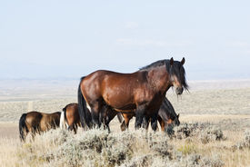 stock photo of open grazing area  - free roaming mustangs on the McCullough Peak Wild Horse Management Area in Wyoming