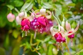 stock photo of pompous  - blossoming branch exotic red and white fuchsia on nature  - JPG