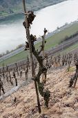 picture of moselle  - Old riesling vine - JPG