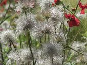 picture of spiky plants  - Fluffy and spiky flowers in seaside garden in Folkestone Kent UK