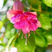 pic of pompous  - blossoming beautiful colorful fuchsia flower outdoor background `Kathy