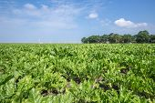 pic of sugar industry  - Dutch farmland with sugar beets ready for harvesting - JPG