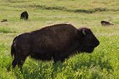 stock photo of female buffalo  - close up of a female american buffalo on green spring grass - JPG