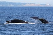 image of whale-tail  - A Mom and Baby Humpback Whale off the Washington Coast - JPG