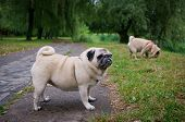 picture of pug  - Two little pugs walking outdoors - JPG